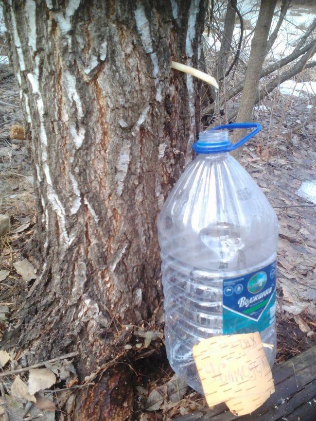 Нехитрое приспособления для сбора березового сока