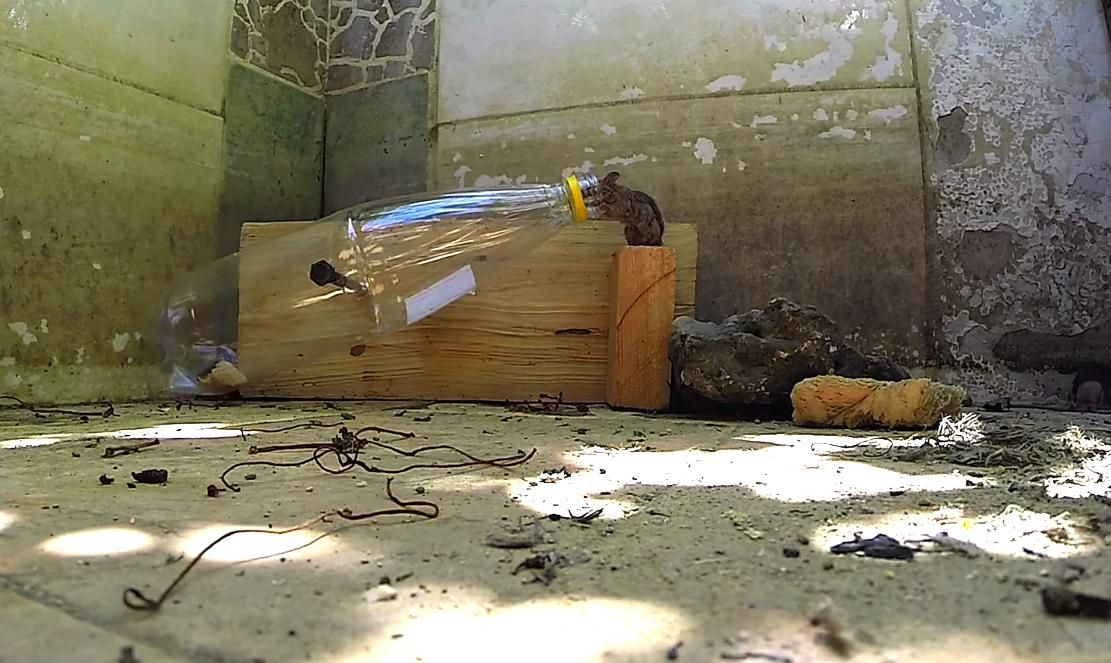 Ловушки для крыс: как смастерить крысоловку своими руками
